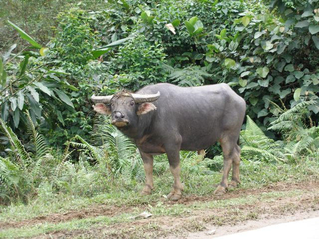 asian-water-buffalo-pictures